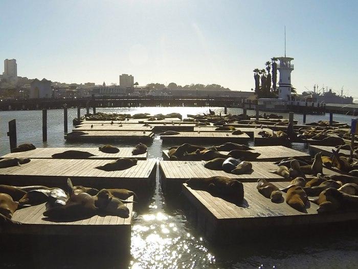 Pier_39_sea_lions