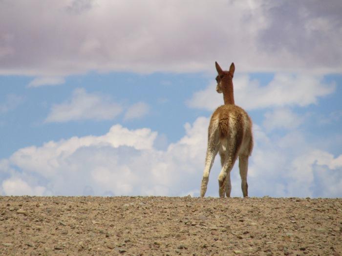 Bolivia wildlife