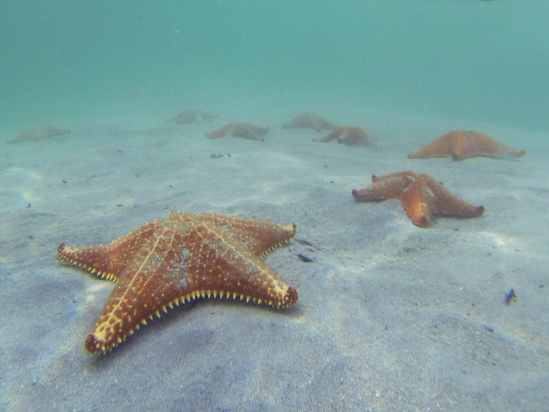Starfish Caribbean sea