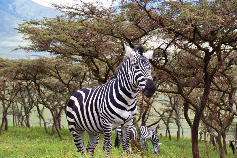 Zebra Tanzania Safari