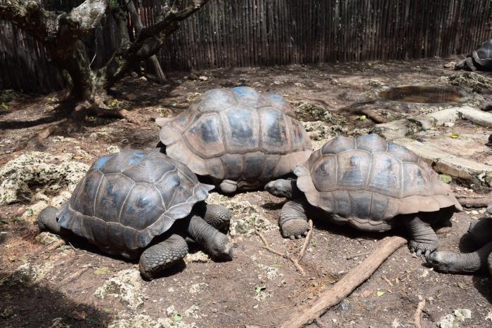 Changuu island turtles
