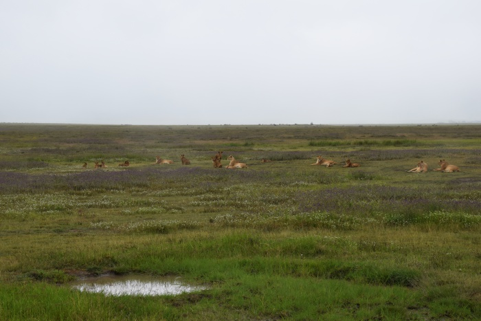 Lions safari Tanzania