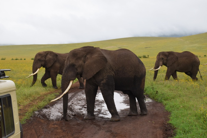 Ngorongoro Conservation Area elephants