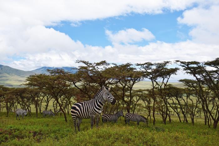 Tanzania zebra