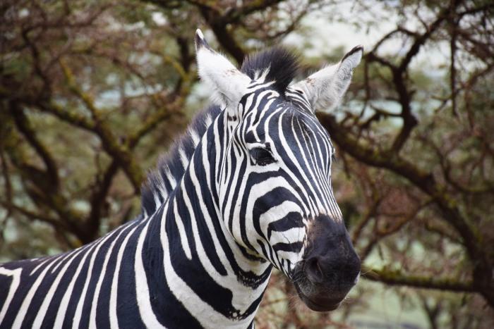 Zebra Africa