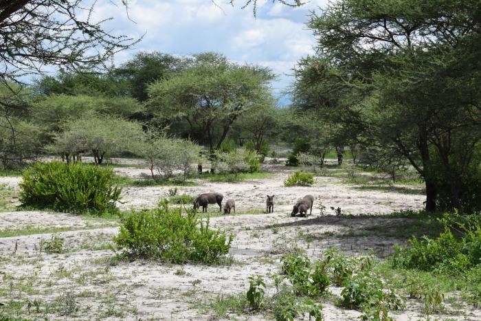 warthogs Tanzania
