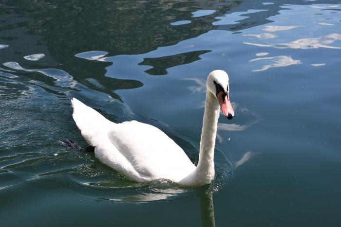 Swan Hallstatt Austria